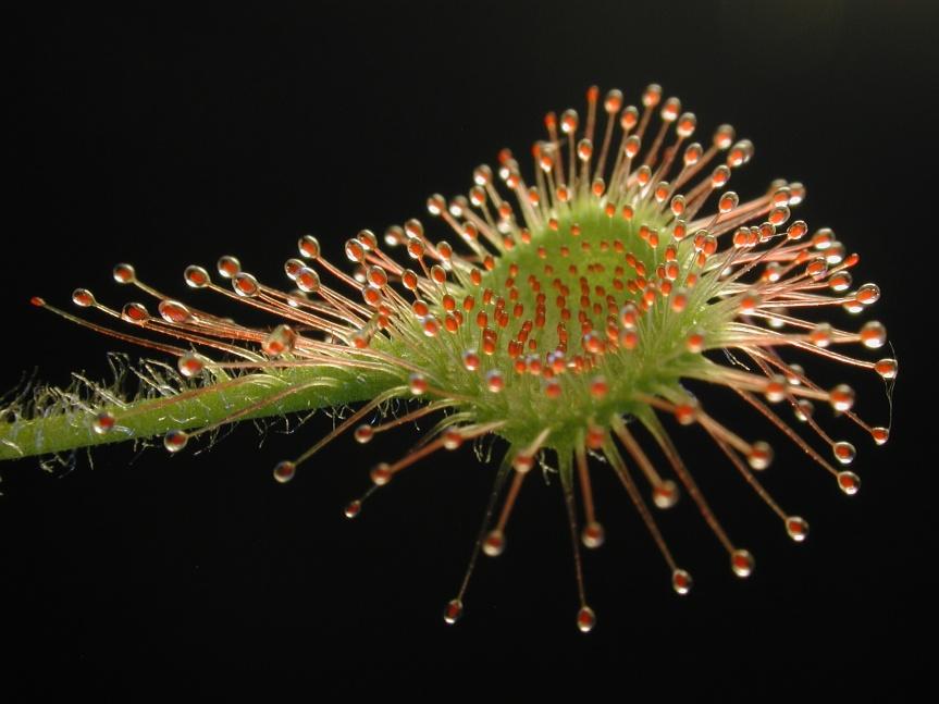 Drosera_rotundifolia_leaf1