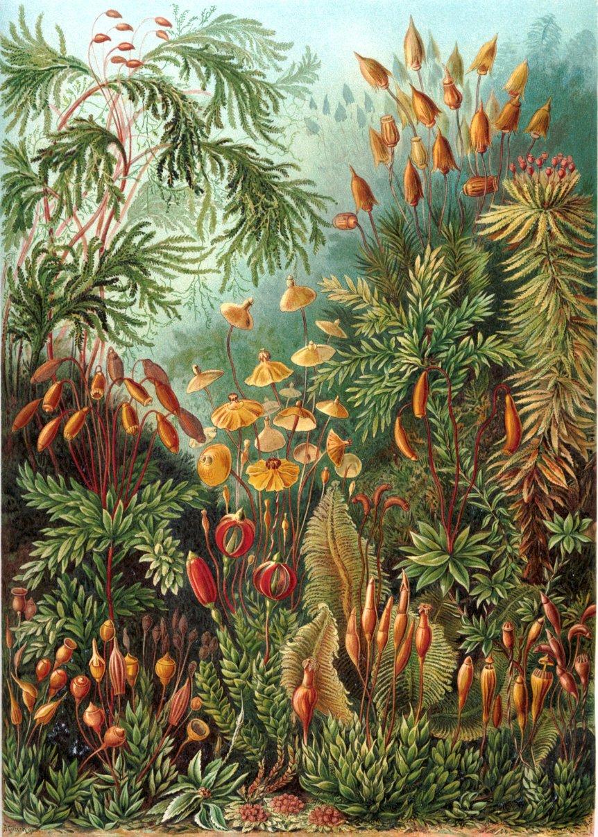 Haeckel_Muscinae