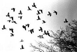 Pigeons in flight