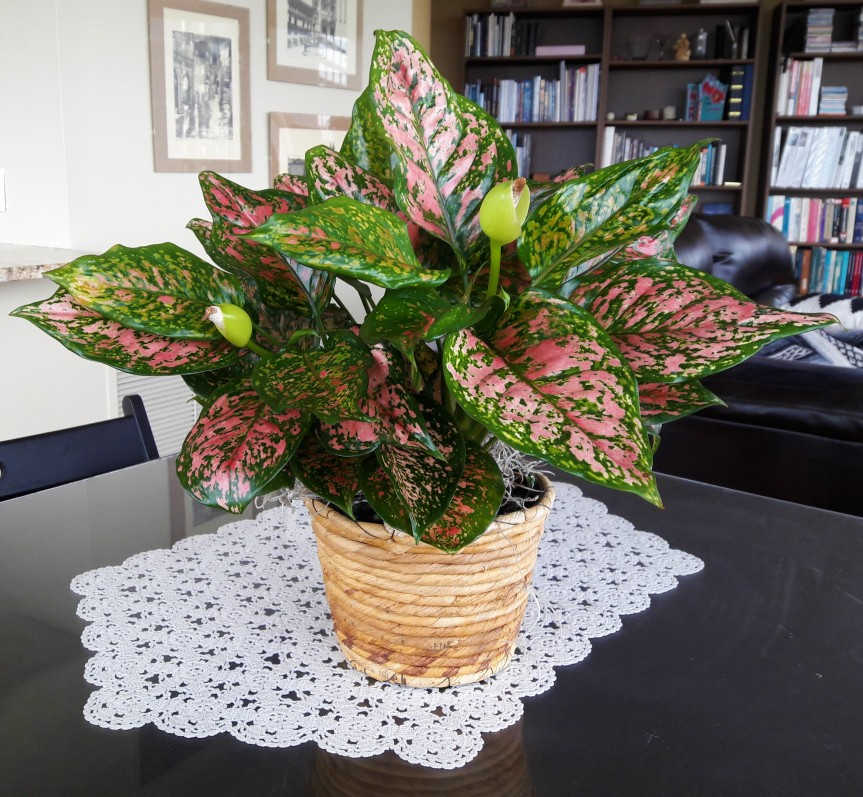 Aglaonema21june19