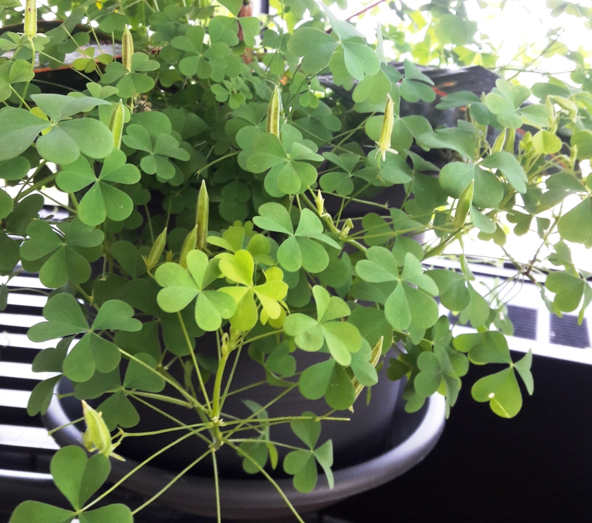 oxalis-seed-pods.jpg