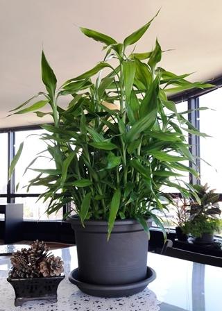 Happy Lucky Bamboo