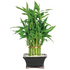 LuckyBamboo sales picture