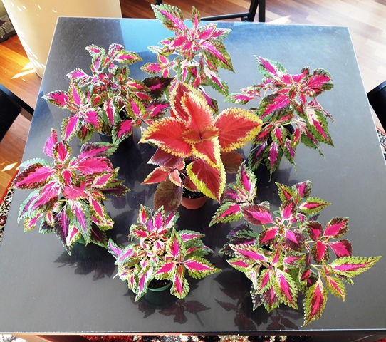 Coleus to give away