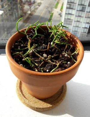 Rhipsalis creuscula